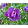 5 Sementes De Rosa Trepadeira Cor Roxa - Frete Grátis