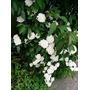 Muda De Buque De Noiva, Lindas Flores Ideal Para Jardins.