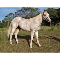 Garanhão Paint Horse - Midas Sunshine Mcc-po - Baio/overo