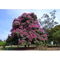 Resedá Gigante - Lagerstroemia Sementes Flor Pra Mudas