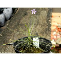 Sementes Byblis Liniflora - Planta Carnivora