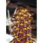 Orquídea Bulbophyllum Careyanum Adulto Com 5 A 6 Bulbos.