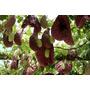 Mudas Aristolochia Gigantea (papo De Peru)  Trepadeira Rara