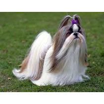 Escova De Pet - Poodle Lhasa Shih Tzu Cocker Maltês Pequinês