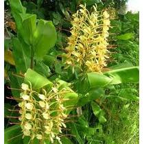 Bulbos De Lirio Do Brejo Amarelo Hedychium Borboleta Lírio