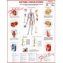 Mapa Gigante Sistema Circulatório Humano - Anatomia Medicina