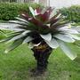 Bromelia Imperial