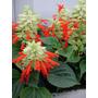 100 Sementes De Salvia Sangria - Com Garantia