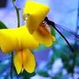 2.500 Sementes Crotalária Breviflora Legítima Veja As Fotos