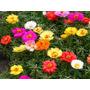 880 Sementes Flor Onze Horas Portulaca Sortida Frete Grátis