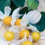 Physalis Edulis Goldenberry Cape Fruta Sementes Para Mudas