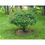 Madressilva Arbustiva Perfumada - Sementes Flor Para Mudas
