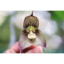Orquídeas 5 Sementes - Cara De Macaco Dragão + Frete Grátis