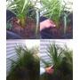 Mudas Phoenix Canariensis Palmeira Das Canárias: 70cm-1metro