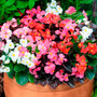 Begonia Semperflorens Mix Importada Sementes Flor Para Mudas