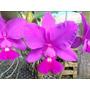 Orquídea Cattleya Walkeriana Tipo Dayane Wenzel - Corte