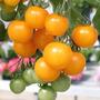 55 Sementes De Tomate Cereja Pendente Yashi Frete Grátis