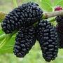 Amora Preta Gigante Fruta Funcional Pode Plantar Em Vasos