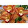 Muda De Orquídea - Cymbidium Orange