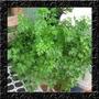 Salsa Lisa Salsinha Sementes Ervas Hortaliças P/ Mudas