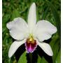 Orquidea Cattleya Percivaliana Var Semi Alba Farah Diba