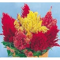 Celósia Plumosa Rabo De Galo Sementes Flor Para Mudas