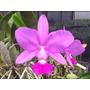 Orquídea Cattleya Walkeriana Tipo Faceira - Corte