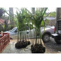 Mudas Palmeira Imperial Kit 10 Mudas 60cm Altura
