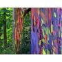 200 Sementes Frescas Eucalipto Arco Iris Eucaliptus Deglupta