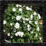 Trepadeira Ipomoea Pearly Gates Sementes Flor Pra Mudas