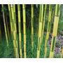 Bambu Bicolor Phyllostachys Aureosulcata - Sementes P/ Mudas