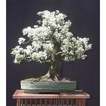 Sementes De Sakura Japonesa Para Mudas Bonsai Ou Árvores