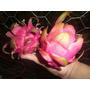 Estacas P/mudas De Pitaya Mexicana Branca-amarela-roxa 30cm