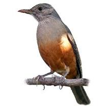 Muda Da Fruta Do Sabiá, Atrai Varios Tipos De Pássaros