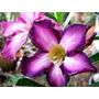 Adenium Obesun 20 Sementes (raras) Rosa Do Deserto