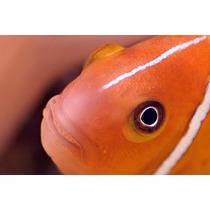 Peixe Palhaço Pink Skank - Marinho - Nemo - 2 A 3 Cm