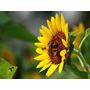 Sementes De Girassol Gigante 500g P/ Pasto Apícola-abelhas