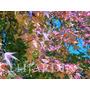 Sementes De Liquidãmbar  - Sweetgum - Muda Bulbo Árvore