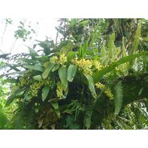 Orquídeas Gomesas Variadas- Mudas Adultas-floração Em Janeir