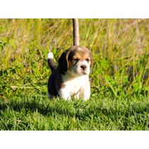 Beagle Fêmea Linhagem Importada Com Pedigree