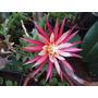10 Sementes Cactos Dama Da Noite Cactus Selenicereus Rosa