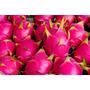 10 Mudas De Pitaya Nicarágua Polpa Vermelha S/raiz, Simples