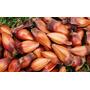 Semente De Araucária (pinhão) 1kg = Cerca De 120 Unidades