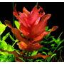 Planta Para Aquario Rotala Macrandra