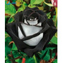 Sementes De Rosa Osiria Black - Negra - Exótica E Rara - 15