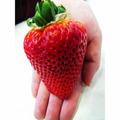 20 Sementes De Morango Vermelho Gigante Raro E Exótico