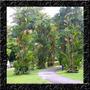 Palmeira Laca Red - Cyrtostachys Renda Sementes Para Mudas