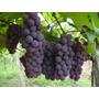 Mudas Enxertadas - Mudas Frutíferas - Videira - Mudas De Uva