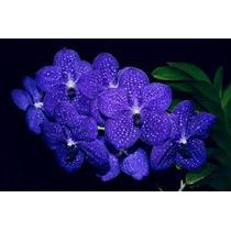 Orquídea Vanda Gigante Azul