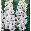Bulbos De 04 Gladíolos Branco Matizado Palmas De Santa Rita